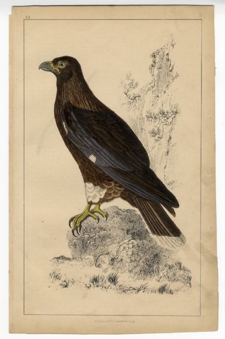 1858 Antique Print FALCON NEW ZEALAND CARACARA Goldsmith VICTORIAN Hand Colour